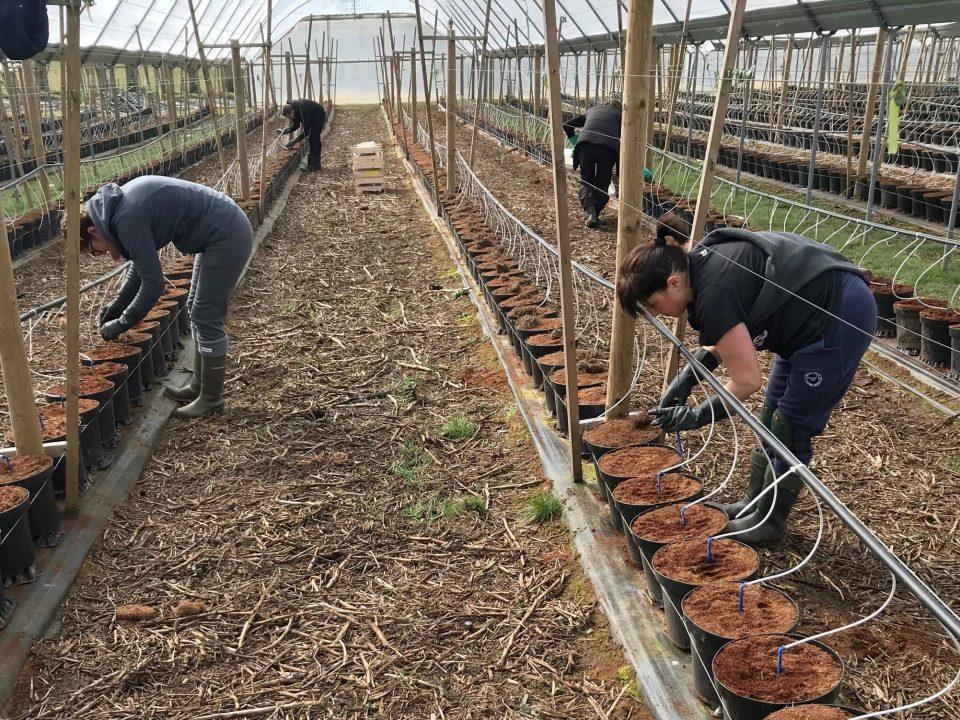 Busy Planting Raspberries